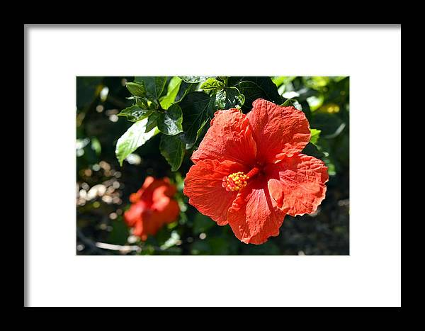 Red Hibiscus Framed Print featuring the photograph Red Hibiscus by Phillip J Gordon