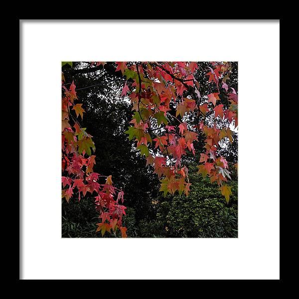Liquidambar Framed Print featuring the photograph Red Liquidambar Leaves by Kirsten Giving