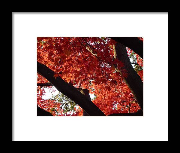 Maple Framed Print featuring the photograph Red Maple 02 by Richard Reeve