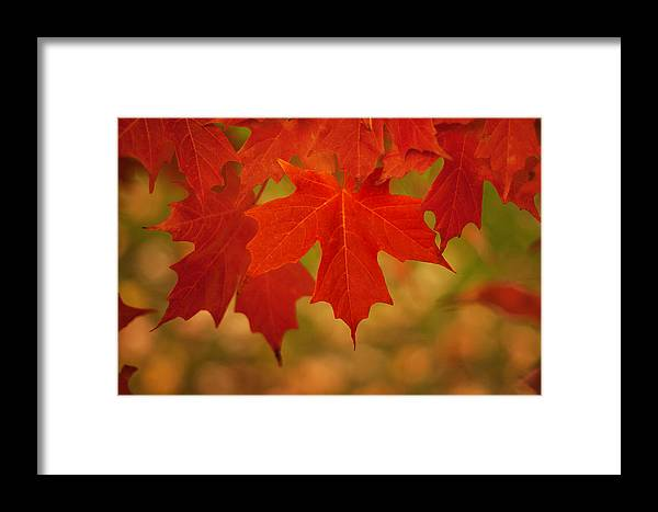 Autumn Framed Print featuring the photograph Red Maple by Michael Porchik