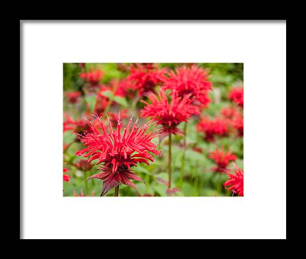 Aromatic Framed Print featuring the photograph Red Monarda by Rob Huntley