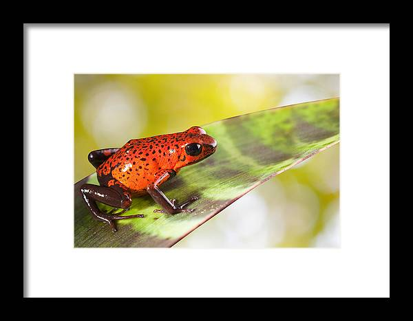 Guyana Framed Print featuring the photograph Red Poison Frog by Dirk Ercken