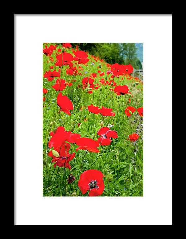 Beautiful Framed Print featuring the photograph Red Poppies Flowers In Field by William Perry