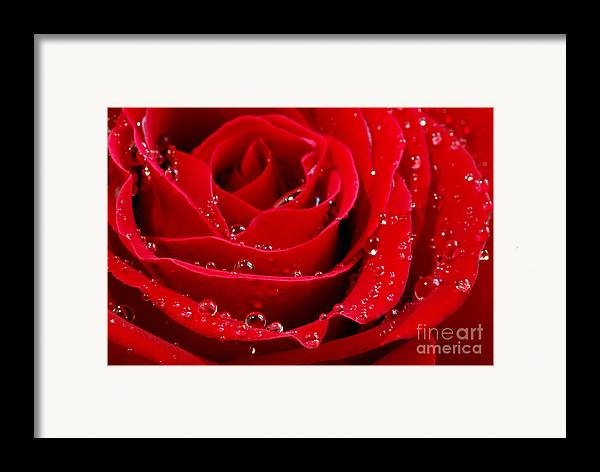 Red Framed Print featuring the photograph Red Rose by Elena Elisseeva