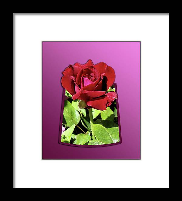 Red Rose Framed Print featuring the photograph Red Rose by Thomas Woolworth