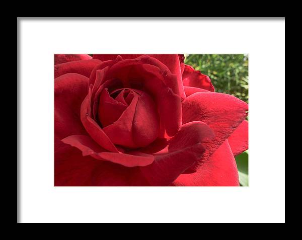 Flowers Framed Print featuring the photograph Red Rose by Tinjoe Mbugus