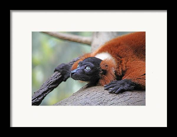 Red-ruffed Lemur Framed Print featuring the photograph Red-ruffed Lemur by Karol Livote