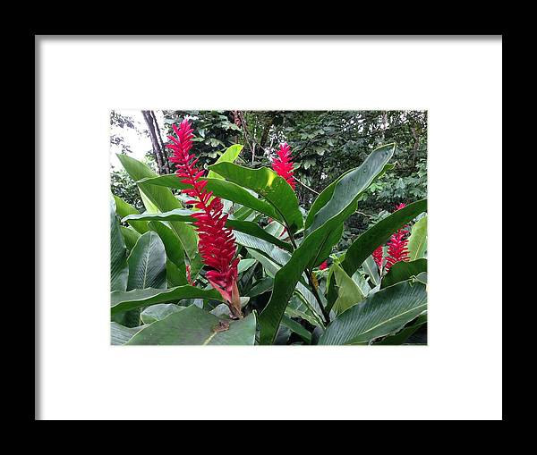 Red Framed Print featuring the photograph Red Spikes In St Lucia by Ron Torborg
