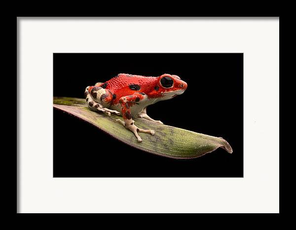 Strawberry Frog Framed Print featuring the photograph Red Strawberry Poison Dart Frog by Dirk Ercken