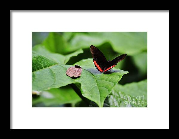 Butterfly Framed Print featuring the photograph Red Stripe by Chuck Hicks