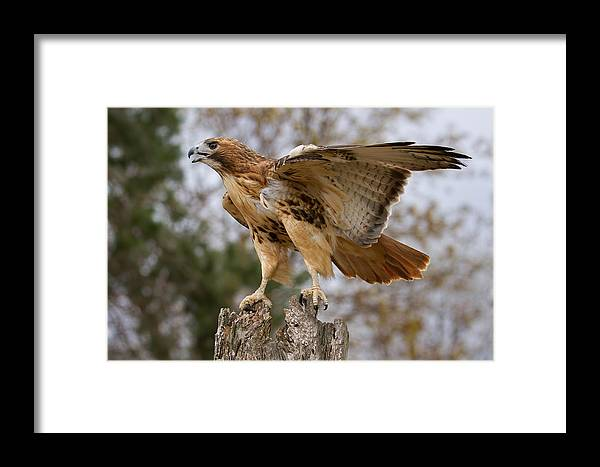 Birds Framed Print featuring the photograph Red-tailed Hawk by Martin Belan