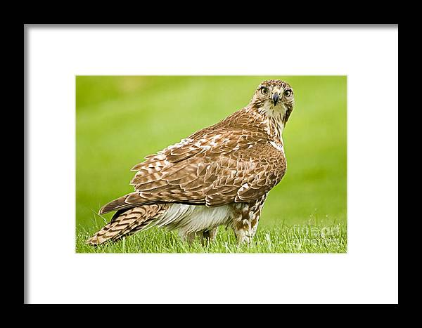 Red-tailed Hawk Framed Print featuring the photograph Red Tailed Hawk by Ralf Broskvar