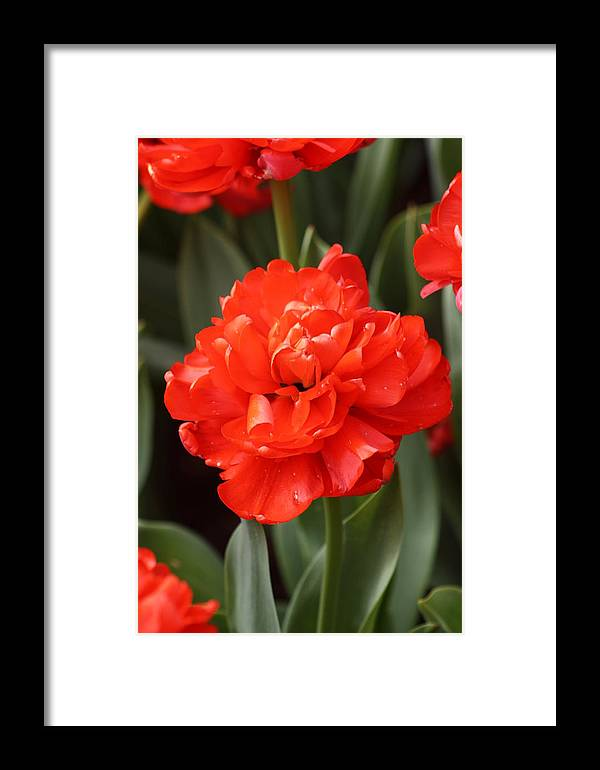 Red Framed Print featuring the photograph Red Tulip by Jennifer Sweeney