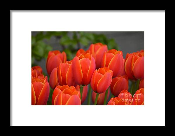 Red Framed Print featuring the photograph Red Tulips Outlined In Yellow by Jan Noblitt