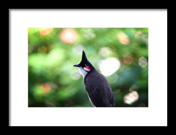 Red Whiskered Bulbul Framed Print featuring the photograph Red Whiskered Bulbul by Kunal Ghate