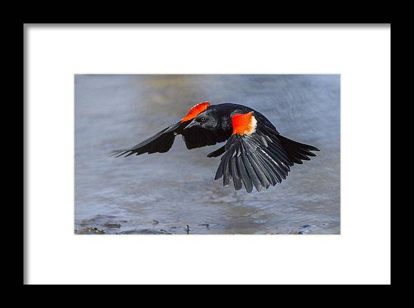 Animal Framed Print featuring the photograph Red Winged Blackbird by Mircea Costina Photography