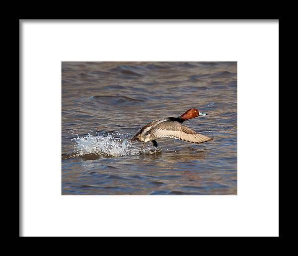 Redhead Duck Framed Print featuring the photograph Redhead Drake Launch by John Dart