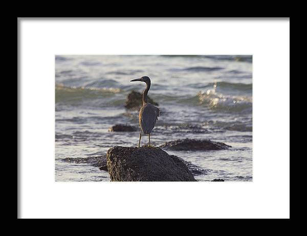 Reef Egret Framed Print featuring the photograph Reef Egret by Douglas Barnard