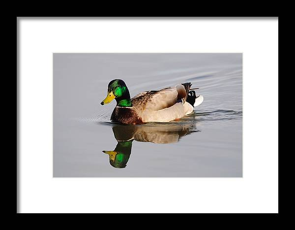 Duck Framed Print featuring the photograph Reflecting Duck by Brian Wartchow