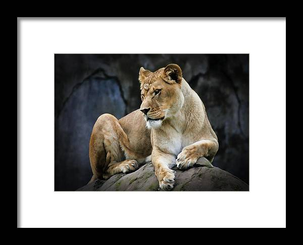 Lion Framed Print featuring the photograph Reflections Of A Lioness by Athena Mckinzie