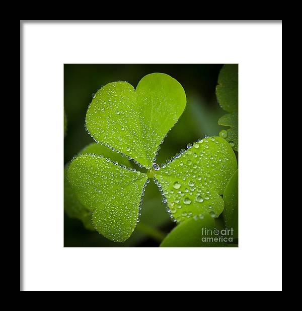 Clover Framed Print featuring the photograph Refreshing by Kerri Farley