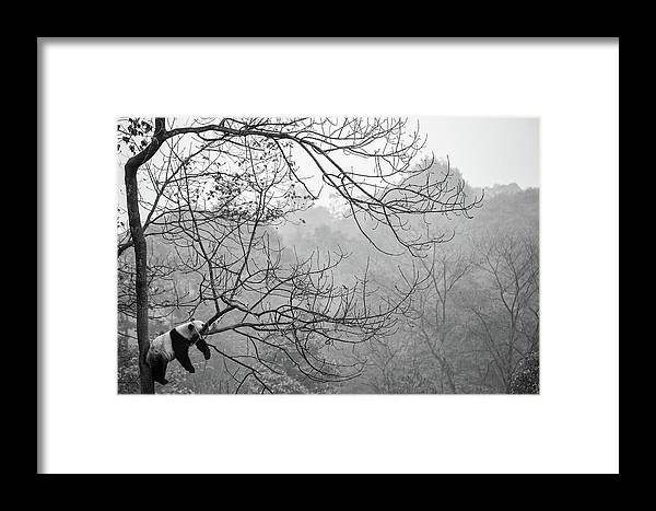 Panda Framed Print featuring the photograph Relax by Alessandro Catta