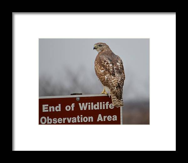 Hawk Framed Print featuring the photograph Rest by Judd Nathan