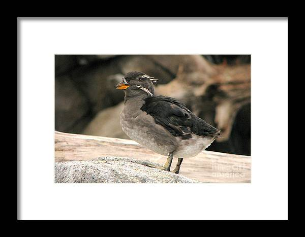 Rhinoceros Auklet Framed Print featuring the photograph Rhinoceros Auklet by Frank Townsley