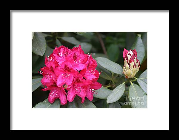 Rhododendron Framed Print featuring the photograph Rhododendron by Christiane Schulze Art And Photography