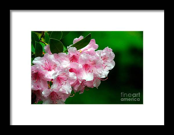 Rhododendron Framed Print featuring the photograph Rhododendron by Lynne Sutherland