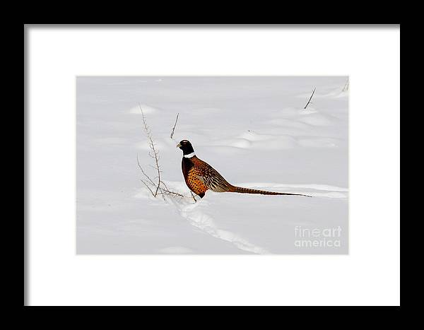 Ring Necked Pheasant Framed Print featuring the photograph Ring Necked Pheasant by Marty Fancy