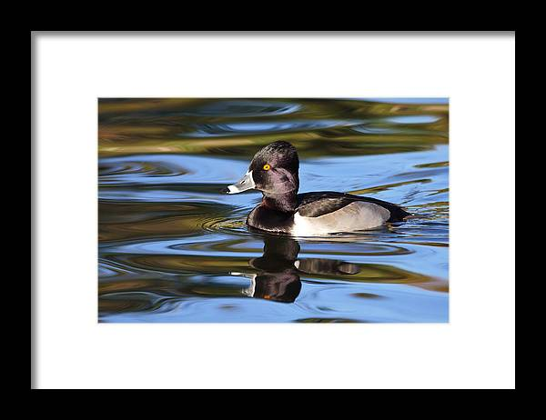 Ring-necked Duck Framed Print featuring the photograph Rings around Ring-necked Duck by Andrew McInnes
