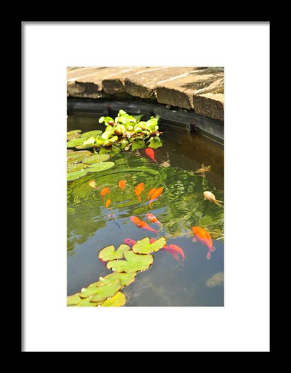 Goldfish Framed Print featuring the photograph Ripple Effect by Puzzles Shum