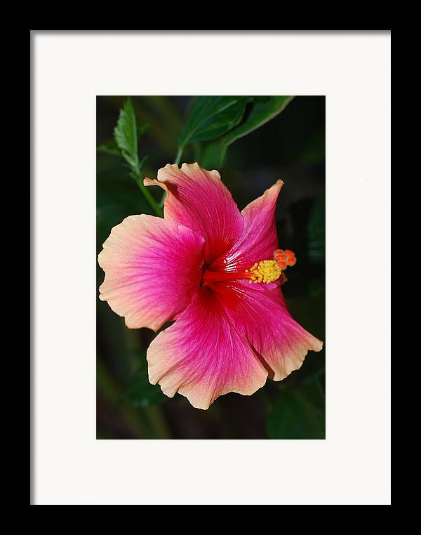 Hibiscus Framed Print featuring the photograph Rise And Shine - Hibiscus Face by Connie Fox