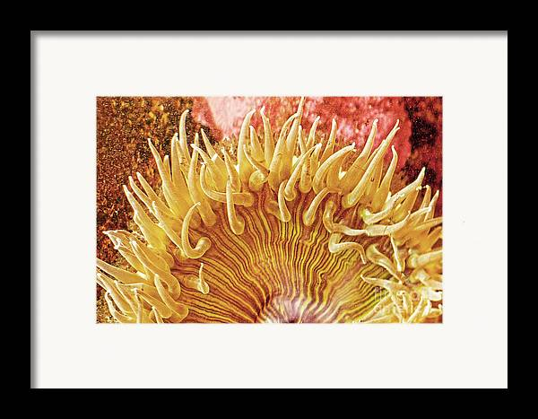 Sea Anenome Framed Print featuring the photograph Rise And Shine Sea Anemone- Pictures Of Sea Creatures - Sea Anenome by Artist and Photographer Laura Wrede