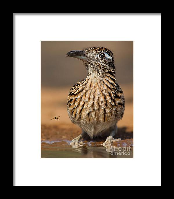 Greater Roadrunner Framed Print featuring the photograph Greater Roadrunner No 1 by Jerry Fornarotto