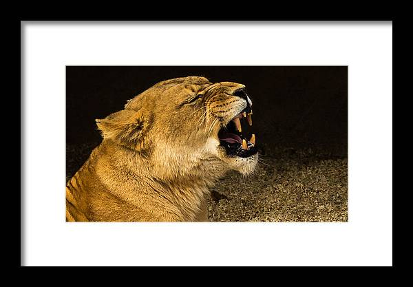 Roar Of A Lioness Framed Print featuring the photograph Roar Of A Lioness by Chakravarthy Kotaru