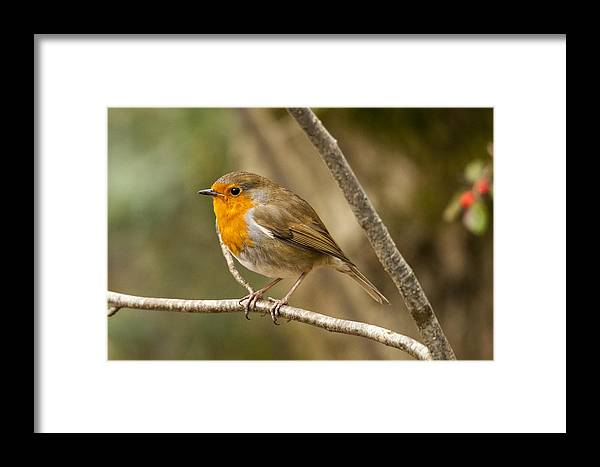 Robin Framed Print featuring the photograph Robin Red Breast by Simon West