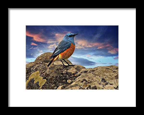 Framed Print featuring the photograph Rock Thrush by Daniela White