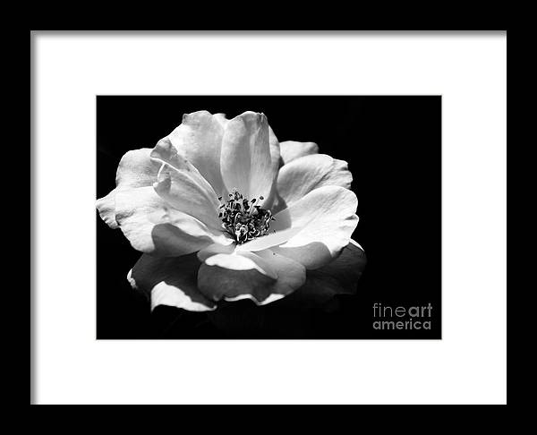 Rose Framed Print featuring the photograph Rose Art by Robin Lynne Schwind