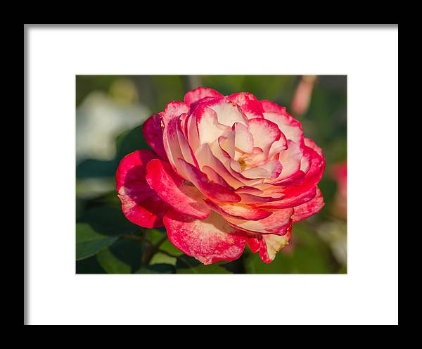 Flower Framed Print featuring the photograph Rose Delight by Jane Luxton
