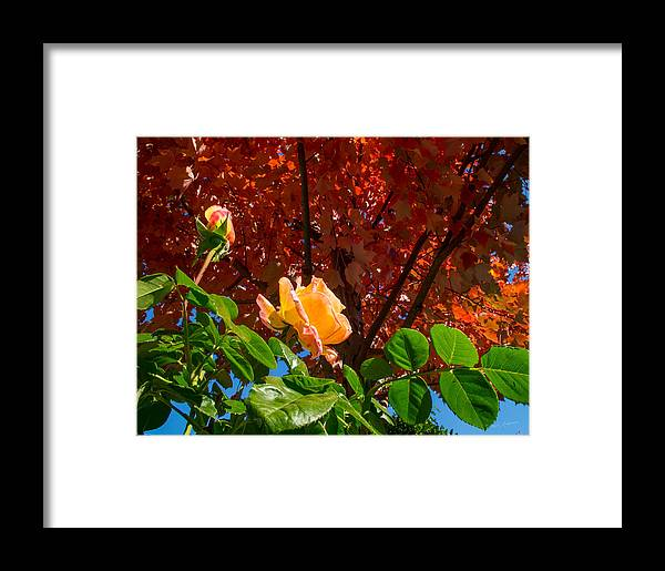 Rose Framed Print featuring the photograph Rose In Autumn by Mick Anderson
