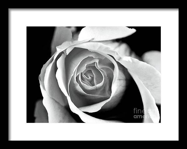 Rose In Black And White Framed Print featuring the photograph Rose In Black And White by John Rizzuto