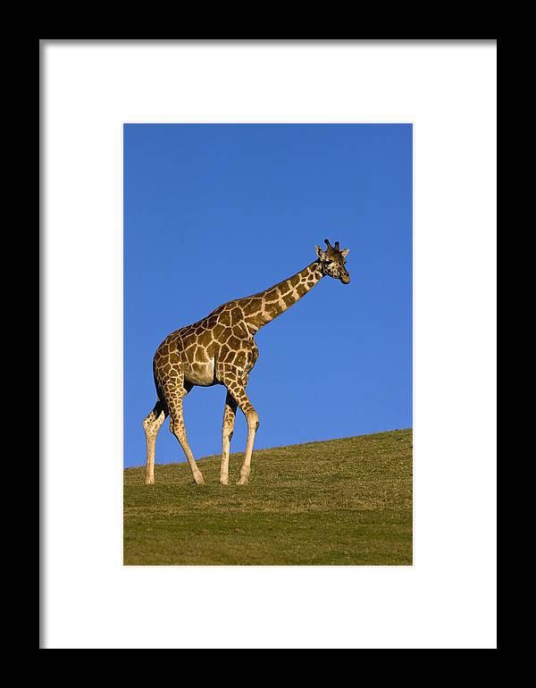 Mp Framed Print featuring the photograph Rothschild Giraffe by Zssd