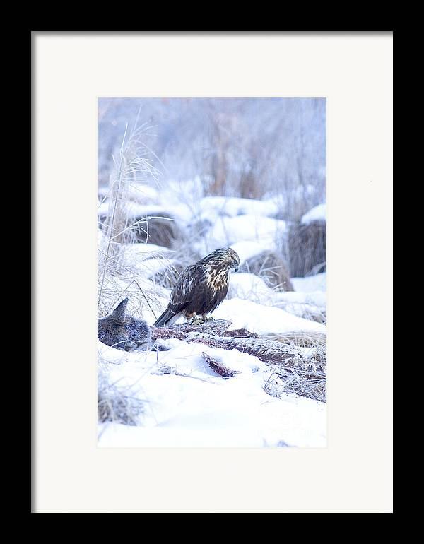 Fauna Framed Print featuring the photograph Rough Legged Hawk On Deer Carcass by Gregory K Scott