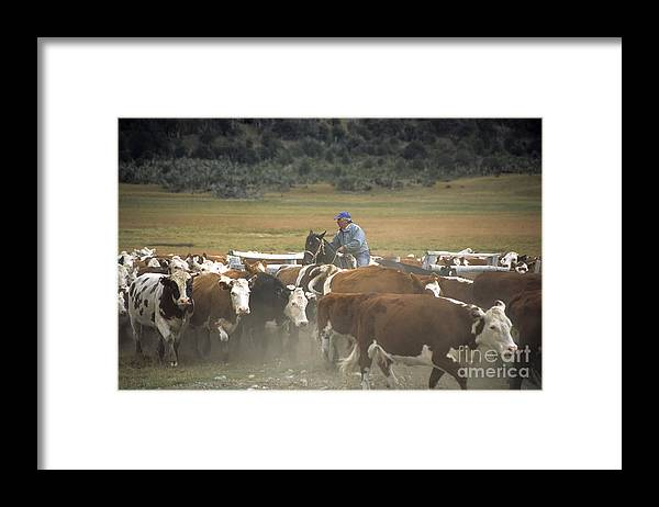Cowboy Framed Print featuring the photograph Cattle Round Up Patagonia by James Brunker
