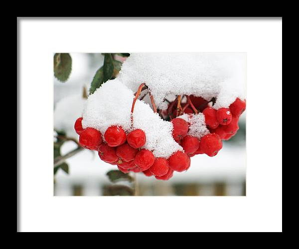 Nature Framed Print featuring the photograph Rowan Berries by Gerry Bates