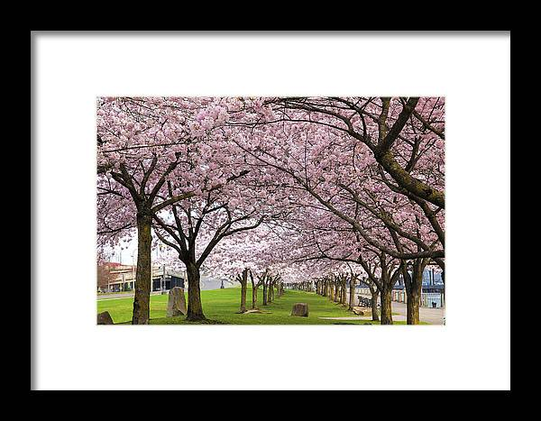 Cherry Framed Print featuring the photograph Rows Of Cherry Blossom Trees In Bloom by Jit Lim