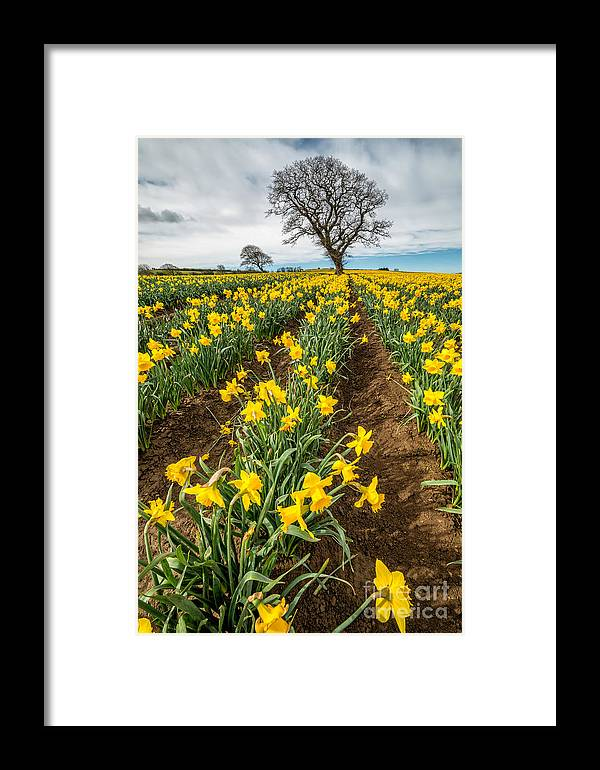 Daffodils Framed Print featuring the photograph Rows Of Daffodils by Adrian Evans