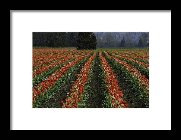 Tulips Framed Print featuring the photograph Rows Of Tulips by Pam Headridge